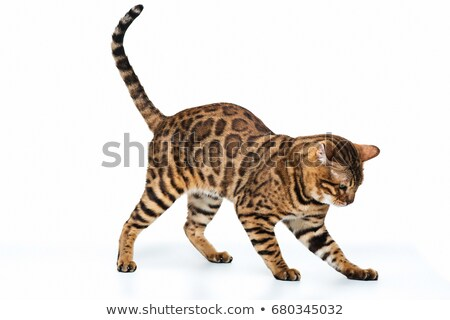 Bengal cat with reflection on white Stock photo © vlad_star