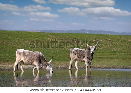 herd of podolian cows on pasture Stock photo © goce