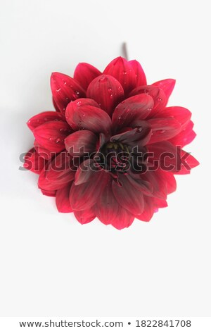 witte · dahlia · bloemen · liefde · schoonheid · kleur - stockfoto © jenbray