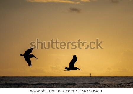 Pair of Pelicans Flying at Sunset Stock photo © silkenphotography