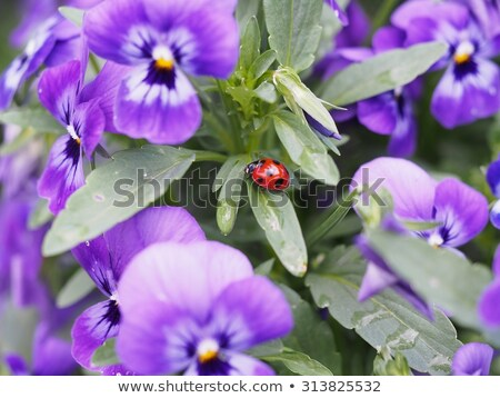 Ladybug on violet flowers in spring time Stock photo © mady70