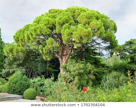 yol · çam · ağaçlar · Toskana · güzel · İtalya - stok fotoğraf © master1305