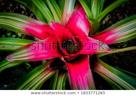Neoregelia Stock photo © eddows_arunothai