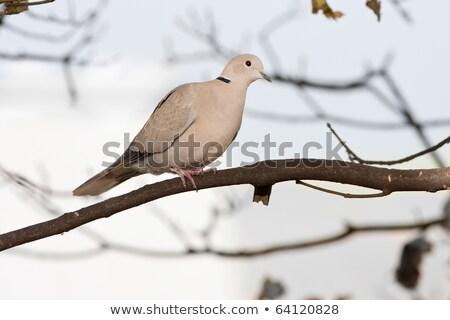 голубя филиала профиль мнение дерево древесины Сток-фото © rekemp