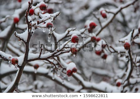Branch of a bush with bright berries after freezing rain Stock photo © ptichka