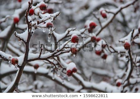 氷 · 茂み · 冬 - ストックフォト © ptichka