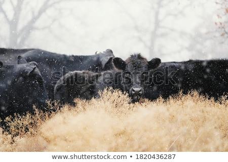 Krów zimą gospodarstwa pogoda śniegu krajobraz Zdjęcia stock © ondrej83