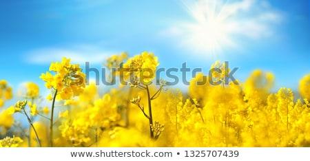 Violación agrícola campo flores cielo azul Foto stock © avq