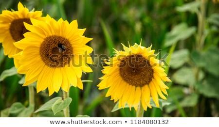 Wesp zonnebloem bloesem veld heldere zon Stockfoto © meinzahn