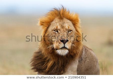 lion family eating in Masai Mara National Park. Stock photo © meinzahn