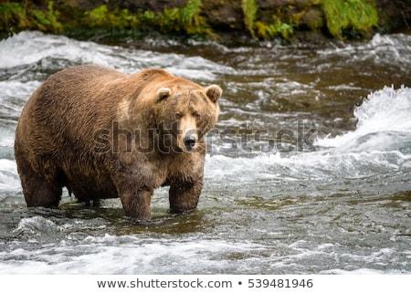 Fat bear Stock photo © bluering