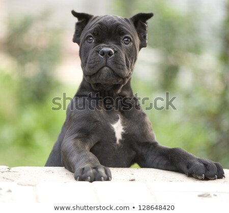 old and young cane corso dog in studio Stock photo © vauvau