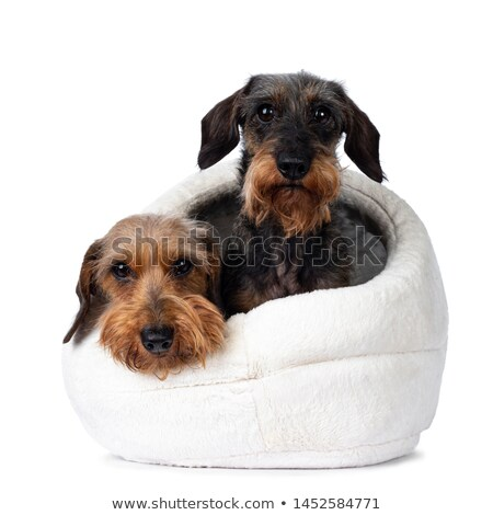 two Dachshunds loking into the camera in the white studio Stock photo © vauvau