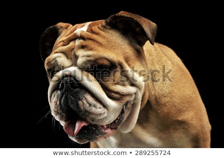 Stock photo: Bulldog portait in a black photo studio