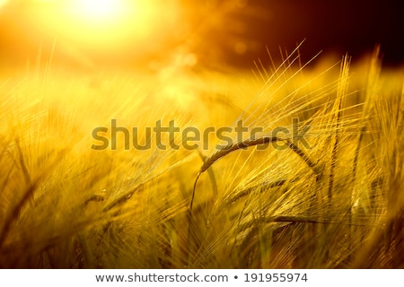 Barley crops field detail Stock photo © stevanovicigor