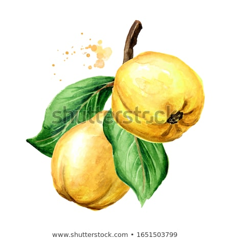 Watercolor illustration of quince Stock photo © Sonya_illustrations
