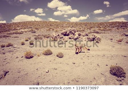 красный · Fox · пустыне · Боливия · небе · солнце - Сток-фото © daboost