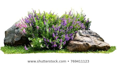 Paars bloemen bush illustratie achtergrond bladeren Stockfoto © colematt