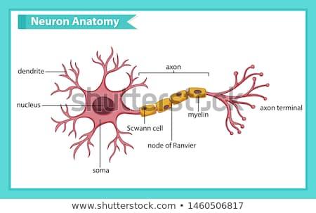 Neuron anatomy and myelin sheath Stock photo © Tefi