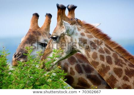 Giraffe mangiare albero rami safari parco Foto d'archivio © galitskaya