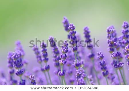 ароматный Purple лаванды Клумба растущий копия пространства Сток-фото © sarahdoow
