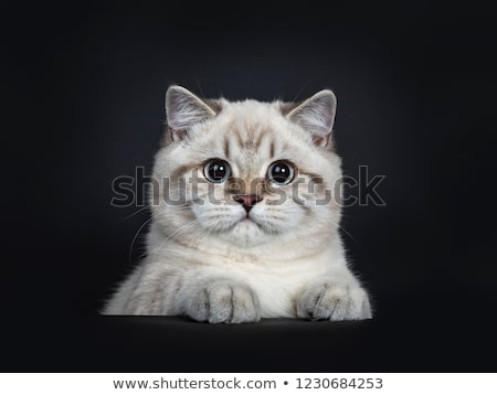 Super cute blue tabby point British Shorthair cat Stock photo © CatchyImages