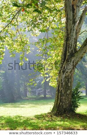 ビッグ 平面 木 日照 2 ストックフォト © wildman