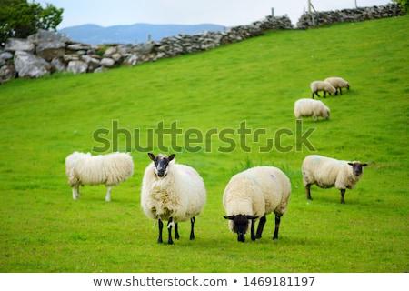 Stock fotó: ír · birka · vidéki · Írország · tavasz · farm