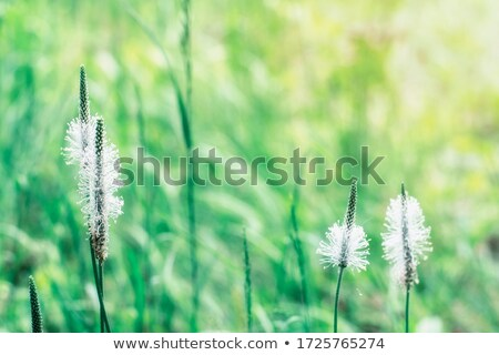 Hoary plantain (Plantago media) Stock photo © rbiedermann