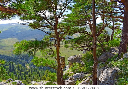Beautiful view of the pine forest in sunny summer day. Stock photo © Pilgrimego