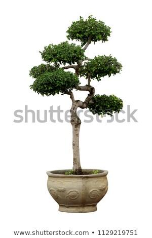 Kína bonsai kert fa levél ázsiai Stock fotó © raywoo
