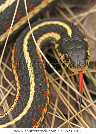 Red Sided Garter Snake Den in Narcisse Manitoba Stock photo © rhamm