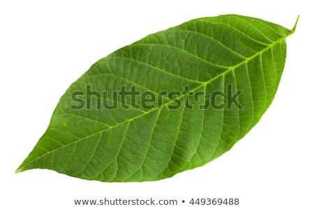 mohoso · hojas · roto · rama · aislado - foto stock © deyangeorgiev