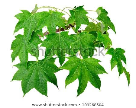 Gotas de água fresco verde maple leaf água grama Foto stock © ryhor