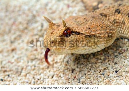 Desert horned viper portrait Stock photo © Kirill_M