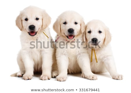 Hét labrador retriever kiskutyák egy hét öreg Stock fotó © silense