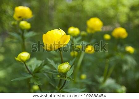 wild yellow globe-flower Stock photo © taviphoto