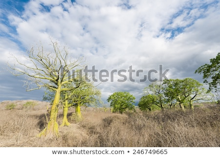 Giant ceiba tree grows up in sunny coast of Ecuador Stock photo © xura