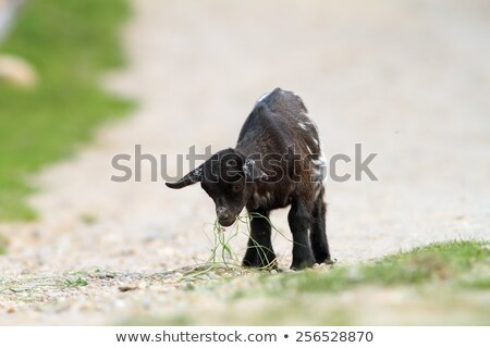 young black goat has found something to eat Stock photo © taviphoto