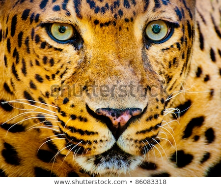 Közelkép portré leopárd intenzív szemek természet Stock fotó © art9858