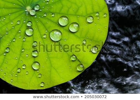 葉 · 水生の · 工場 · 水面 - ストックフォト © dariazu