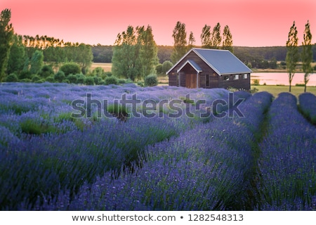 Lavendel weide tasmanië Australië lang veld Stockfoto © roboriginal
