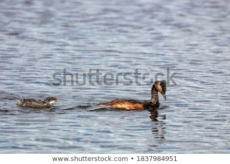Eared Grebe with Babies Stock photo © pictureguy