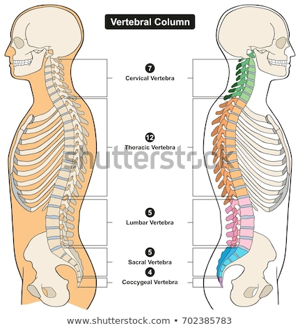 Vertebra Vertebral Column Stock photo © Lightsource