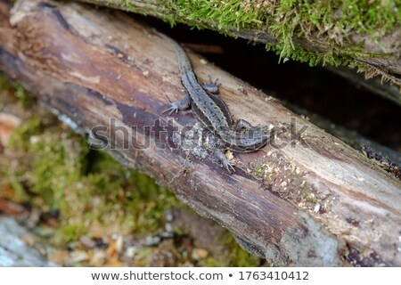 viviparous lizard basking on tree trunk Stock photo © taviphoto