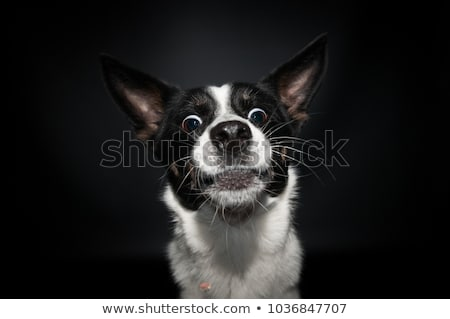 mixed breed black funny dog portrait in studio Stock photo © vauvau