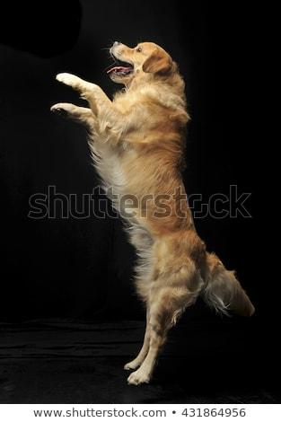 sweet golden retriever enjoy photo shooting in studio stock photo © vauvau