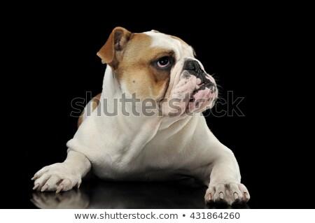English Bulldog waching in the dark studio Stock photo © vauvau