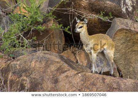 Klipspringer on the look out. Stock photo © simoneeman
