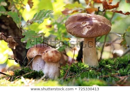 Trzy borowik grzyby dąb wzrostu liści Zdjęcia stock © romvo